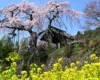 お花見 地蔵禅院