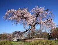 お花見 円山公園