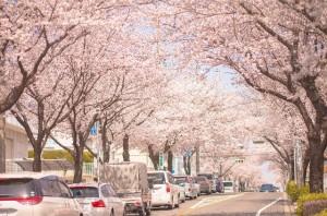 伊豆高原 桜トンネル