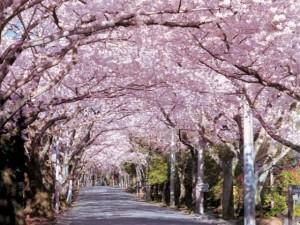 伊豆高原 観光 桜まつり