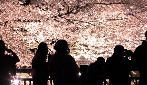 伊豆高原 夜桜