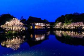 平安神宮 夜桜