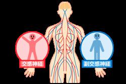 体全体と交感神経、副交感神経