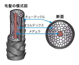 毛髪の構造図
